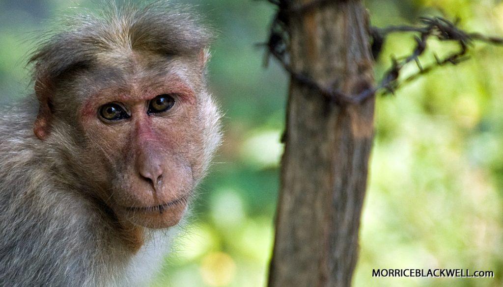 Monkey of Munnar - 2010 - Munnar, India