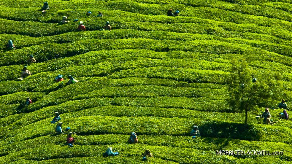 Tea Fields of India - 2010 - Munnar, India
