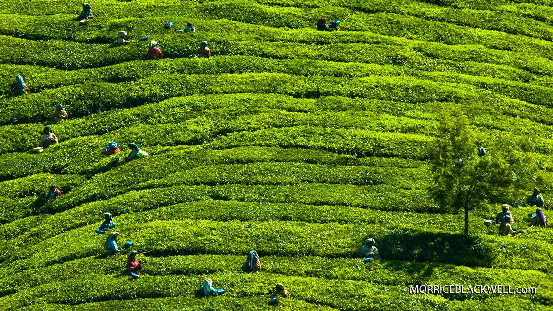 Tea Fields of India - 2010 - Munnar, India